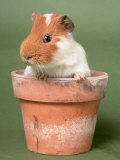Guinea Pig in Flower Pot Photographic Print by De Meester