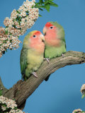 Pair of Peach-Faced Lovebirds Papier Photo par Petra Wegner