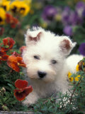 West Highland Terrier / Westie Puppy Among Flowers Posters by Adriano Bacchella