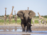 African Elephant, Warning Posture Display at Waterhole with Giraffe, Etosha National Park, Namibia Foto von Tony Heald