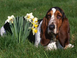 Basset Hound, Amongst Daffodils, USA Posters by Lynn M. Stone