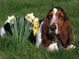 Basset Hound, Amongst Daffodils, USA Photographic Print by Lynn M. Stone