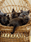 Domestic Cat, 8-Week, Blue and Brown Burmese Kittens Lying in a Wicker Chair Photo by Jane Burton