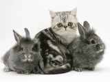 Blue-Silver Exotic Shorthair Kitten with Baby Silver Lionhead Rabbits Poster by Jane Burton