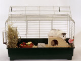 Abyssinian Guinea Pig in Cage Photo by Steimer