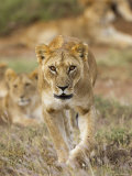 Lion, Female, Laikipia, Kenya Photographic Print by Tony Heald