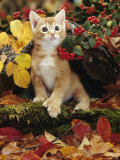 Ginger Kitten Among Autumn Leaves and Cotoneaster Berries, Note, Kitten Has Extra Toe (Polydactyl) Photo by Jane Burton