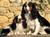 King Charles Cavalier Spaniel Adult with Puppy Photographic Print by Adriano Bacchella