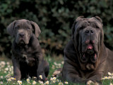 Black Neopolitan Mastiff with Puppy Photographic Print by Adriano Bacchella