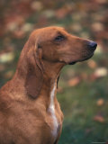 Smooth / Short-Haired Segugio Italiano Hound Profile Portrait Photographic Print by Adriano Bacchella