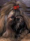 Shih Tzu Portrait with Hair Tied Up Premium Photographic Print by Adriano Bacchella