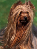 Yorkshire Terrier Portrait Photographic Print by Adriano Bacchella