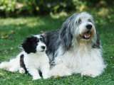 Polish Lowland Sheepdog with Puppy Photographic Print by Petra Wegner