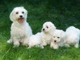 Maltese with Puppies Photographic Print by Petra Wegner