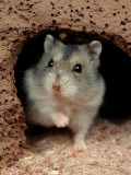 Dwarf Hamster Photographic Print by Petra Wegner