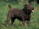 Black Shar Pei Standing in Grass Photo by Adriano Bacchella