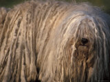 Puli / Hungarian Water Dog Portrait Photographic Print by Adriano Bacchella