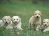 Four Lagotta Romagnolo Puppies Photographic Print by Adriano Bacchella