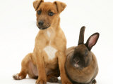 Dwarf Rex Rabbit with Puppy (Jack Russell Terrier Crossed with Chihuahua) Photographic Print by Jane Burton