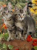 10-Week, Short-Haired Ticked Tabby Kittens with Nasturtiums, Montbretia and Yellow Daisies Photographic Print by Jane Burton