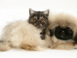 Smoke Exotic Kitten with Pekingese Puppy Prints by Jane Burton