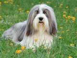 Bearded Collie Photographic Print by  Steimer
