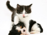 Black-And-White Kitten Walking Over Sleeping Cavalier King Charles Spaniel Puppy Prints by Jane Burton