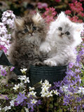 Domestic Cat  Tabby and Siver Chinchilla Persian Kittens  by Watering Can Among Bellflowers