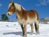 Belgian Horse in Snow, Colorado, USA Print by Lynn M. Stone