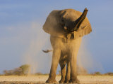 African Elephant, Shaking Dust Off, Etosha National Park, Namibia Print by Tony Heald