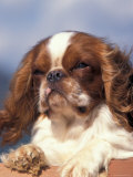 King Charles Cavalier Spaniel Adult Portrait Print by Adriano Bacchella