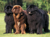 Domestic Dogs, Three Newfoundland Dogs Standing Together Psters por Adriano Bacchella