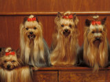 Domestic Dogs, Four Yorkshire Terriers Sitting / Lying Down Print by Adriano Bacchella