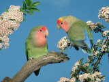 Pair of Peach-Faced Lovebirds Premium Photographic Print by Petra Wegner