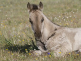 Grulla Colt Lying Down in Grass Field with Flowers, Pryor Mountains, Montana, USA Photographic Print by Carol Walker