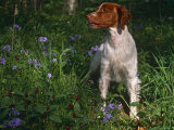 Brittany Spaniel, Domestic Gundog, USA Photographic Print by Lynn M. Stone