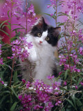 Domestic Cat, Black Bicolour Persian-Cross Kitten Among Rosebay Willowherb Photographic Print by Jane Burton