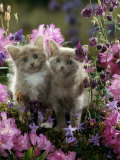 6-Week, Blue-And-White Female and Blue Male Kittens, Among Purple Columbines and Rhododendrons Photographic Print by Jane Burton