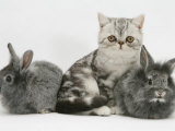 Blue-Silver Exotic Shorthair Kitten with Baby Silver Lionhead Rabbits Photographic Print by Jane Burton