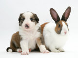 Sable-And-White Border Collie Pup with Fawn Dutch Rabbit Photographic Print by Jane Burton