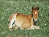 Mustang / Wild Horse Foal, Pryor Mountains, Montana, USA Prints by Lynn M. Stone
