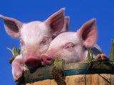 Domestic Piglets, in Bucket, USA Photographic Print by Lynn M. Stone