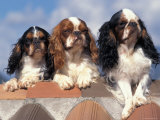 Three King Charles Cavalier Spaniel Adults Photographic Print by Adriano Bacchella