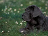 Black Neopolitan Mastiff Puppy Lying in Grass Posters by Adriano Bacchella
