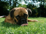 Bullmastiff Portrait Photographic Print by Petra Wegner