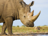 White Rhinoceros, Etosha National Park, Namibia Prints by Tony Heald