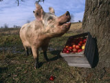 Domestic Pig, Feeding on Apples, Illinois, USA Photographic Print by Lynn M. Stone