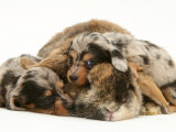 Silver Dapple Miniature Dachshund Puppies Cuddled up with Tortoiseshell Dwarf Lop Doe Rabbit Posters by Jane Burton