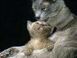 Domestic Cat, 1-Month, Burmese Kitten with His Blue Mother Posters van Jane Burton