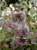 Domestic Cat, 7-Week, Fluffy Grey Male Kitten Among Flowers Prints by Jane Burton
